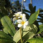 Plumeria on the property