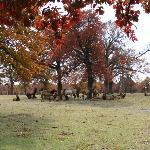 Elk herd at the Woolaroc Wildlife Preserve