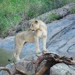 Löwe auf Beobachtungsposten