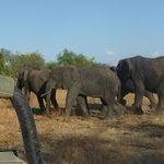 Elephants amble by.