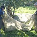 Olives being harvested on the grounds.