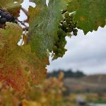 A few grapes left after harvest 2012 - anticipated to be a great vintage