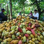 Cacao pod harvesting