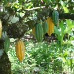 Cacao trees full of fruit