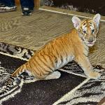 Tiger Romp