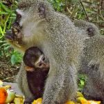 Monkeyland - mom and her baby