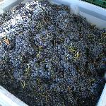 A delicious bin of hand picked grapes ready to turn into wine