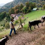 La Ferme : nos vaches