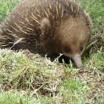 The little Echidna that came to say hello