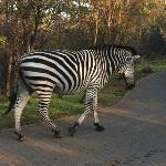 Zebra inside the Park