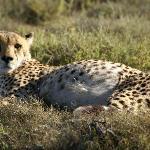 Cheetah on game drive - viewed on foot!