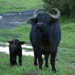 Buffalo on game drive