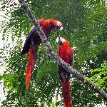 Macaws high in the trees.