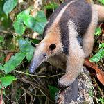 Tamandua at Nicuesa Rainforest Lodge