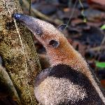 Tamandua searching for Termites at Nicuesa.