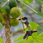 Fiery-billed Aracari's in fruit tree.