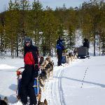 Maximal sechs Hundeschlitten bilden ein Team auf Saija's Touren.