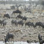 springbok, oryx, kudus and more