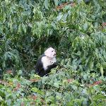 White-faced Capuchin monkey right in front of our cabin