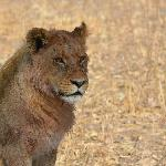One of many, many lions