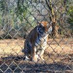 Rajaji the Tiger