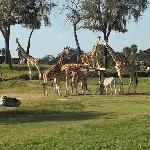 jirafas en el recorrido de zoologico