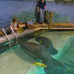 Feeding time at the manatee aquarium