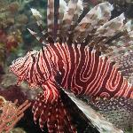 Lionfish on the house reef