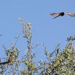 Mousebird in Jacaranda