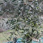 Le olive sugli alberi