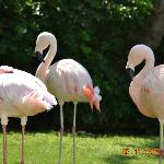 Flamingos im Gehege