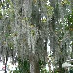 Spanish Moss all over the trees, just beautiful