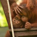 Infant orang-utans pause for a rest on the nursery climbing frame