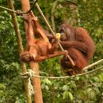 Foto de The Great Orangutan Project