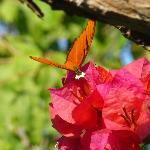 Butterfly on Bouganvilla