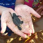 Releasing of the baby Turtles