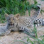 Salayexe's cub
