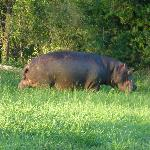 Hippo grazing at 6 a.m. close to the lodge