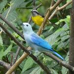 The Blue-grey tanager and the Bananaquit