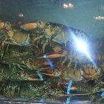 Tank full of lobster