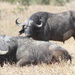 buffalo Hanging out