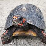resident red footed tortoise