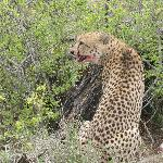 Cheetah, bloody mouth from consuming kill