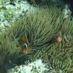 anemonefish, aituaki, Black Pearl