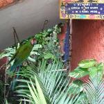 Resident Parrot - Corola