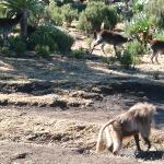 Walia Ibex and Gelada Baboon