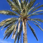 A Date Palm at the Dalhousie Homestead Ruins