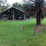 Dining with Kangaroos