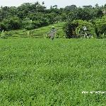 green belt of rice paddy fields on the way