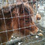 Clementine, one of the lovely Shetland ponies on the property.